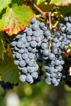 Free Grapes Royalty Free Stock Photography - 35864857