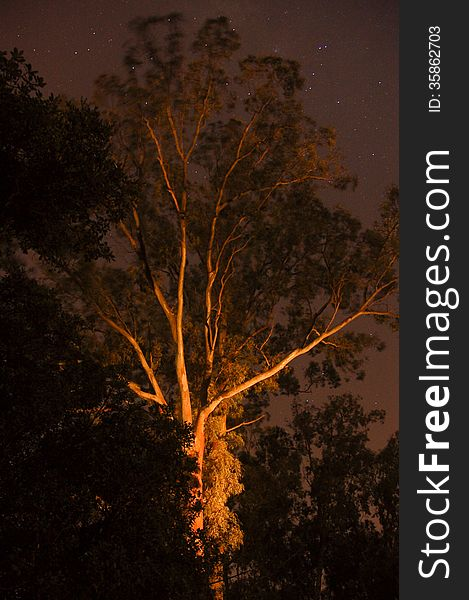 Ghostly gum tree at night