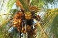 Free Coconuts Royalty Free Stock Photos - 35872168