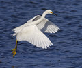 Free Snowy Egret Royalty Free Stock Photography - 35873317