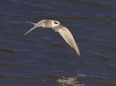 Free Forster S Tern Stock Photos - 35873293