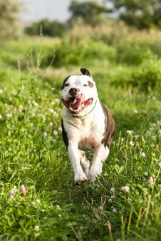 Free Running American Staffordshire Terrier Royalty Free Stock Images - 35876659