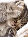 Free Three Week Sleeping Baby Kitten Portrait Royalty Free Stock Image - 35884046