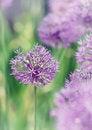 Free Allium Royalty Free Stock Photo - 35888295
