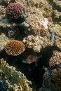 Free Big Fish Hidden In Reef. Royalty Free Stock Photos - 35895338