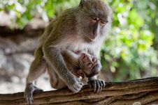 ADULT MONKEY WITH BABY Stock Images