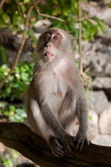 Free MONKEY ON A TREE Stock Photography - 35891102