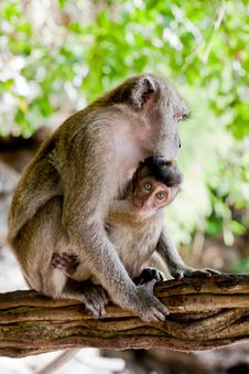 ADULT MONKEY WITH BABY Stock Photography