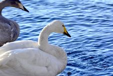 Free Swans Royalty Free Stock Image - 35892226