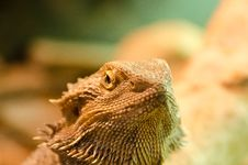 Free Bearded Dragon Royalty Free Stock Photography - 35899407