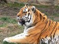 Free Bengal Tiger Stock Photography - 3590002