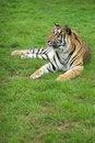 Free Amur Tiger Stock Image - 3592761