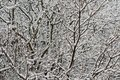 Free Snowy Branches Stock Photography - 3595842