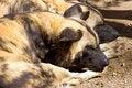 Free Hyenas Royalty Free Stock Image - 3596426