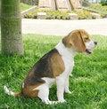 Free Beagle Sideways Stock Image - 3598421