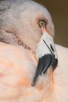 Chilean Flamingo Stock Photo