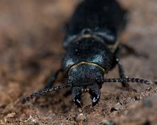 Free Longhorn Beetle Royalty Free Stock Photo - 3593485