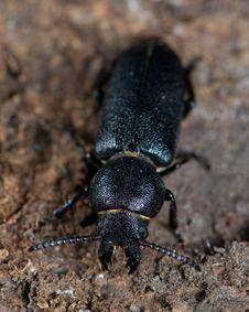 Free Longhorn Beetle Stock Image - 3593491