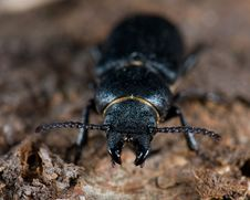Free Longhorn Beetle Stock Photography - 3593492