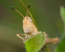 Free Grasshopper On Blade Of Grass Stock Photos - 3593503
