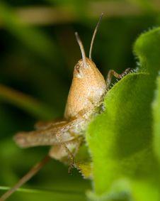 Free Grasshopper On Blade Of Grass Royalty Free Stock Photo - 3593505