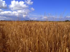 Barley Field In Summer Royalty Free Stock Image