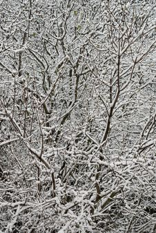 Free Snowy Branches Royalty Free Stock Photos - 3595848