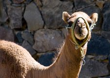 Free Camel Royalty Free Stock Photography - 3596337