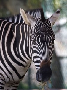 Free Zebra Stock Images - 3596504