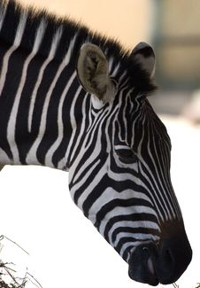 Free Zebra Stock Photos - 3596513