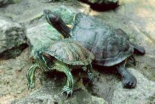 Free Two Turtles On Stones Royalty Free Stock Photo - 3596635