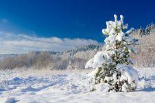 Free Pine Royalty Free Stock Image - 3597646