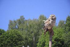 Free Wary Owlet Stock Photo - 3597850