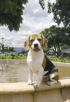 Free Beagle Sit On Fountain Royalty Free Stock Photos - 3598108