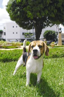 Beagle Standing Stock Photo