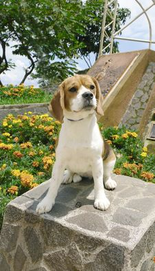 Free Beagle On Rock Royalty Free Stock Images - 3598549