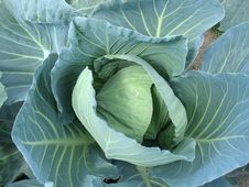 Head Of Cabbage Royalty Free Stock Photos