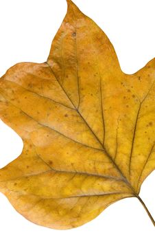Free Autumn Leaf Royalty Free Stock Photography - 3599057