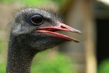 Free Dark Ostrich Stock Image - 3599111