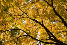 Free Golden Leaves Royalty Free Stock Photos - 3599228