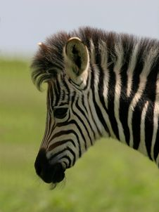 Free Zebra Foal Stock Image - 3599241