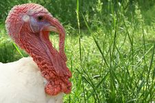 Free Turkey Royalty Free Stock Photo - 3599245