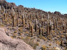 Free Bolivian Cactus Field Stock Photography - 3599332
