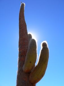 Free Sunlit Bolivian Cactus Stock Photos - 3599373