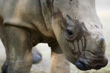 Free White Rhinoceros Stock Photo - 3599610