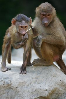 Free Hamadryas Baboons Royalty Free Stock Images - 3599849