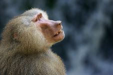 Free Hamadryas Baboons Stock Photo - 3599860