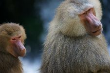 Free Hamadryas Baboons Stock Images - 3599864