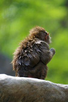 Free Hamadryas Baboons Stock Image - 3599891