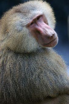 Free Hamadryas Baboons Stock Images - 3599904